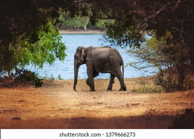 Wild elephant in nature. A small elephant surrounded by nature. Around him vegetation and trees. Behind him, a lake of water. Location: Minneriya. Sri Lanka.