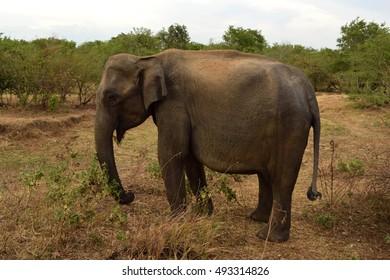 Wild elephant in Sri Lanka