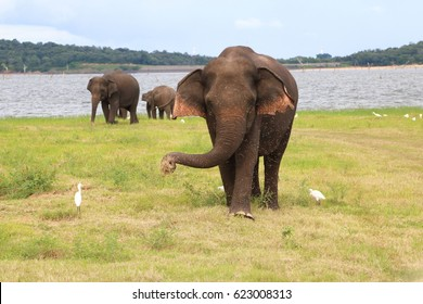 A wild elephant using its trunk to pick up some grass and swing it at Kaudulla National Park, Sri Lanka