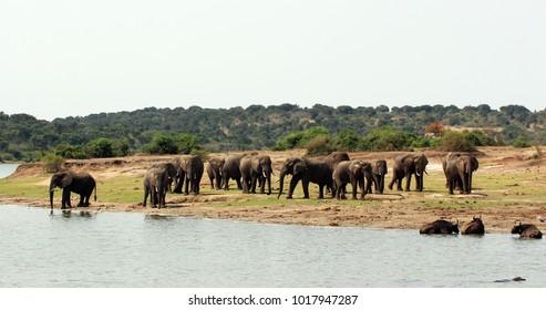 Wild elephants in Africa Uganda
