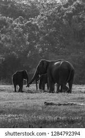 Wild elephants dad and baby in black and White , Minneriya , Sri lanka