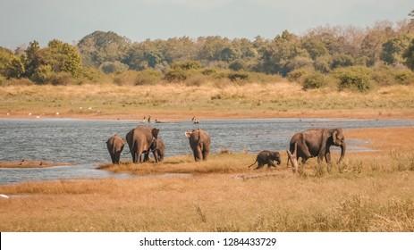 Wild elephants family at Minneriya , Sri lanka