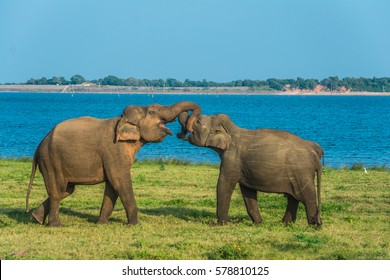 Wild elephants fighting at Kawudulla national park at Polonnaruwa, Sri Lanka