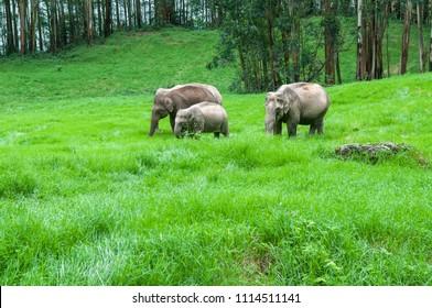 Wild elephants grazing in green grass hills at Munnar Kerala India.
