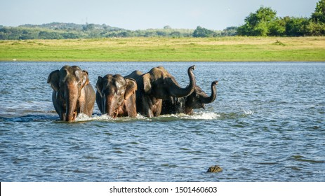 Wild Elephants herd running on water at Kaudulla tank, Sri Lanka. Sri Lankan wild elephants are endangered due to mainly human activities and losing natural habitats when creating illegal colonies