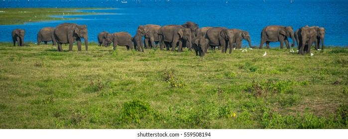 Wild elephants at Kawudulla national park, Minneriya, Sri Lanka