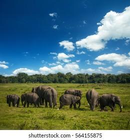 Wild  elephants at Kawudulla national park in Polonnaruwa, Sri Lanka