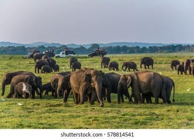 Wild elephants at Kawudulla national park at Polonnaruwa, Sri Lanka
