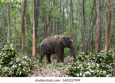 Wild elephants keept in captivity for domestication. Elephants in domestication center