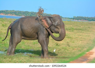 Wild Elephants In Minneriya National Park. The Park Is A Dry Season Feeding Ground For The Elephant Population Dwelling In Forests Of Matale, Polonnaruwa, And Trincomalee Districts