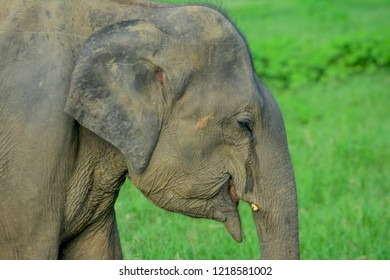 Wild Elephants In Minneriya National Park, Sri Lanka