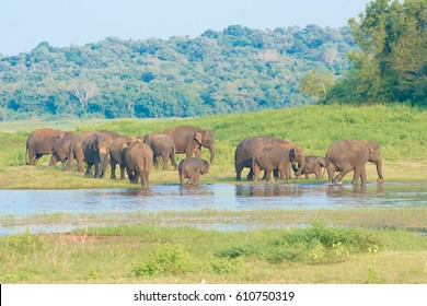Wild Elephants At Minneriya National Park In Sri Lanka. Minneriya National Park Is An Important Habitat For Water Birds And Sri Lankan Elephants And It Is The Second Most Visited Park In The Country