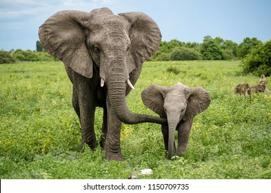wild elephants, mother and son