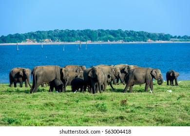 wild elephants in National Park in Sri Lanka