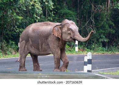 Wild elephants walk on the road in the rain