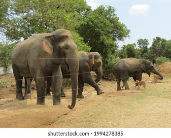 Wild elephents are not crossing the electric fense and brave dog try to keep them away at Somawathiya Sri Lanka