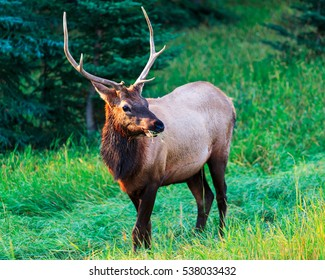 Wild Elk in Banff Canada