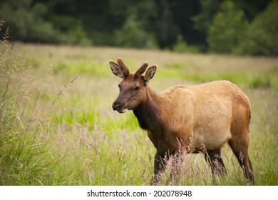 Wild elk buck, male, walking in tall grass in the field with pine trees in the background.