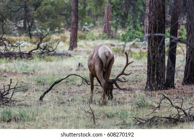 Wild Elk in the forest, Grand Canyon National Park, Arizona, USA.