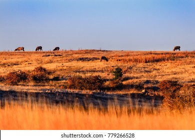 Wild elk gathering to graze in the early morning at Wichita Mountains National Wildlife Refuge, November 2017