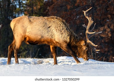 Wild Elk or also known as Wapiti (Cervus canadensis) in the winter snowfall in Jasper National Park, Alberta, Canada