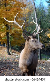 Wild elk on a beautiful day in autumn