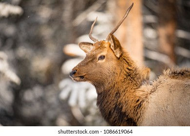 Wild Elk in snowy Banff National Park Alberta Canada