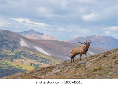 wild elk in the west.