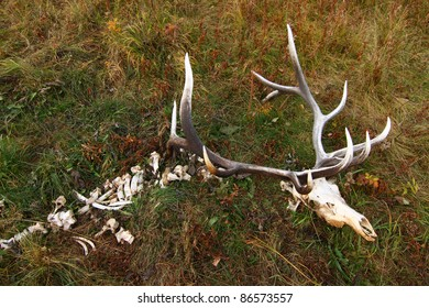 Wild elk which died of natural causes.