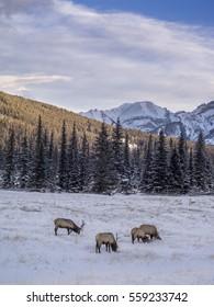 Wild Elk in winter Banff National Park Alberta Canada