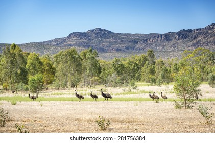 Wild emu birds in the beautiful landscape of Victoria's Grampians National Park