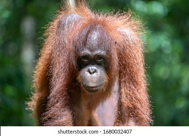 A wild endangered orangutan in the rainforest of island Borneo, Malaysia, close up. Orangutan mounkey in nature
