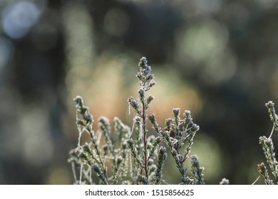Wild erica plant covered of frost