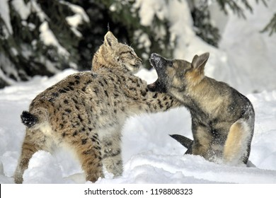 Wild Eurasian lynx (Lynx lynx) in its natural environment deep in the forests playing with german shepherd dog. Freezing winter weather. Wild and endangered/rare predator. Winter background. Slovakia.