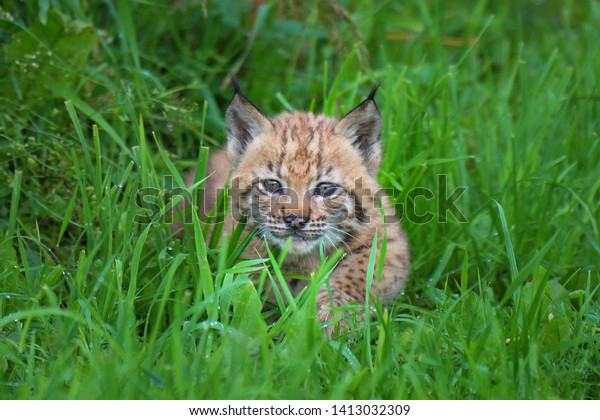 Wild Eurasian lynx (Lynx lynx) in natural environment deep in the forests. Cub exploring surrounding habitat during spring day. Cub preparing to release to wild nature. Slovakia.