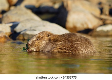 Wild European Beaver feeding in a Swedish Lake