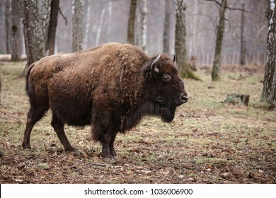 Wild european bison in the forest, reserve, Russia