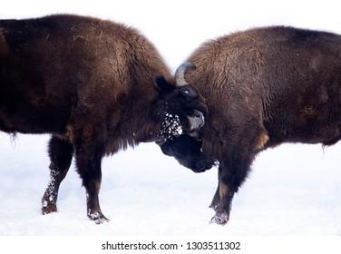 Wild european bisons fighting in snowy forest