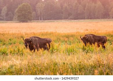 Wild european bisons in the forest at Belovezhskaya Pushcha National Park, Belarus.