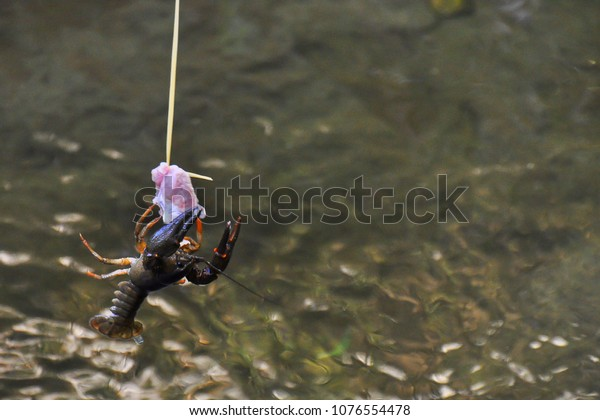 Wild european crayfish trying to bite a piece of meat. Astacus astacus