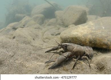 Wild European freshwater crayfish from Italy (Austropotamobius pallipes italicus): rare and endangered.  Adult female in its underwater sandy habitat.