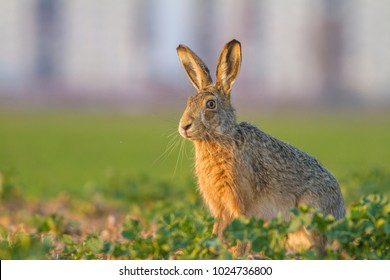 Wild European Hare ( Lepus Europaeus . Wild Brown Hare With Yellow Eyes, Sitting On The Green Grass
