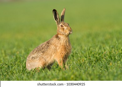 Wild European Hare ( Lepus Europaeus ) Close-Up On Green Background.