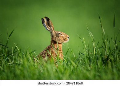 Wild european hare,covered with drops of dew, sitting in the green grass under the sun. Lonely wild brown hare sitting on the green field of wheat. Czech wild hare on green background. Head of rabbit