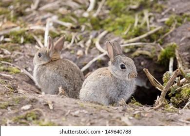 Wild European rabbits