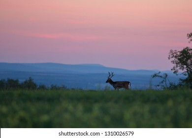 Wild fallow deer (cervus elaphus) during rut in wild autumn nature, in rut time, silhouette Picture, wildlife photography of animals in natural environment, protect animals, hunting, hunters, Slovakia