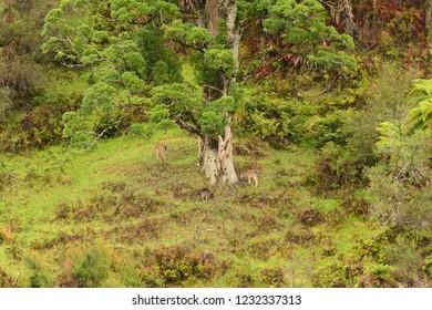 Wild Fallow deer feeding in typical New Zealand habitat near Whaganui