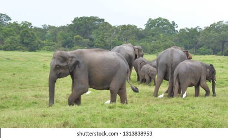 Wild family of elephants in national park, protected and free in nature. No humans allowed close as the elephants protect each other.
