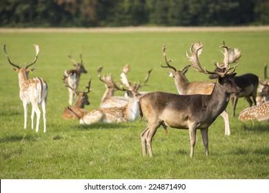 Wild fauna in Phoenix Park, Dublin.