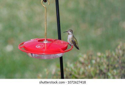 Wild Female Adult Anna's Hummingbird at a Feeder During Migration